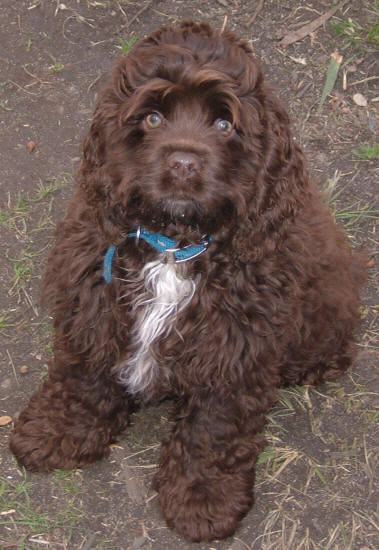 Valley View Spoodle Breeders Cocker Spaniel Pictures