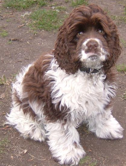 Spaniel Dogs For Sale