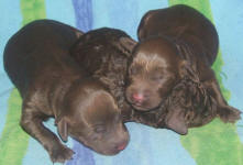 Small Dog Puppies In Gippsland