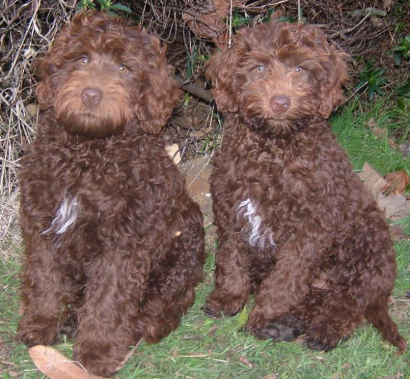 Chocolate White Poodle For Sale