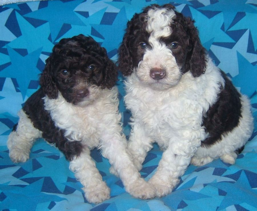 Dogs For Sale Australia