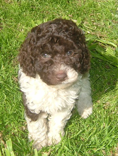 White Chocolate Schnoodle