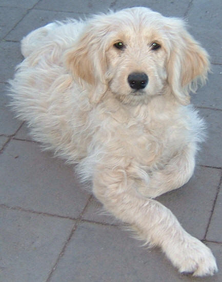 24699497933741976 further Parti Labradoodle Puppies in addition 10 Virkeligt Sode Blandede Hunderacer together with Zander furthermore The Hidden Suffering Dogs Bred Cute Adorable Looks Cuddly Names Like Labradoodle But Trend Cross Breed Dogs Raises Disturbing Questions. on schnoodle doodle