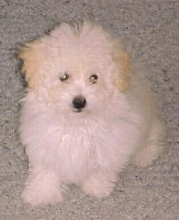 Image Result For Maltese Puppies Available