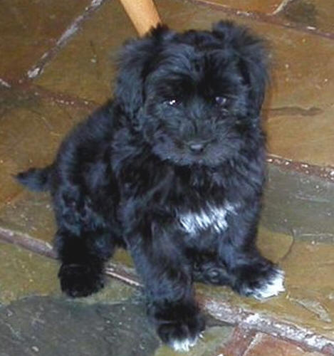 Pictures Of Maltese Poodle Puppies