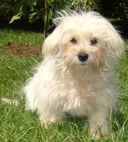 Valley View Maltese-Poodle Breeders - Maltese Pictures ...