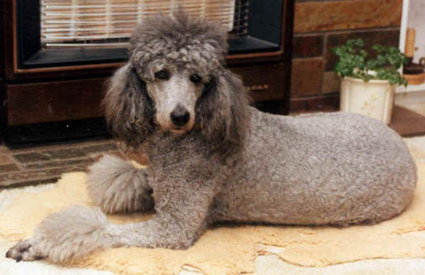 Valley View Dog Breeders Poodle Information