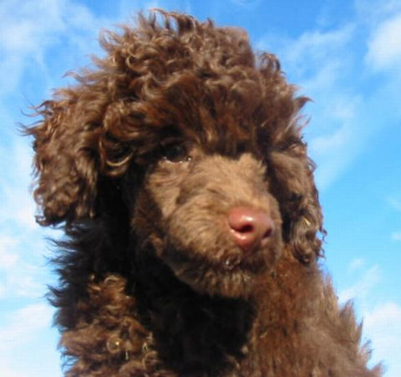 Valley View Dog Breeders Poodle Pictures