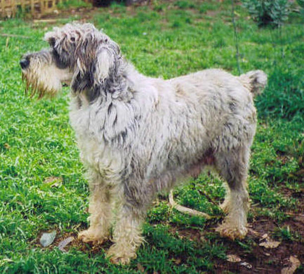 Valley View Schnoodle Breeders Schnauzer Pictures