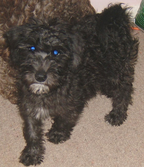 schnoodle pictures