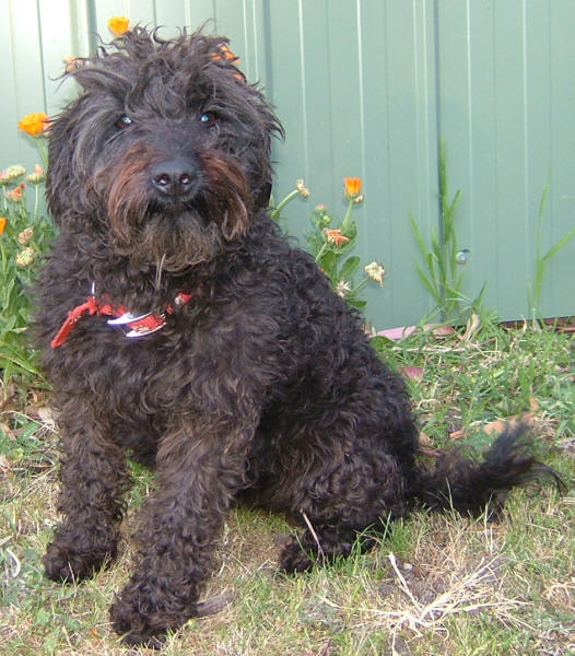 Schnoodle Dogs Uk